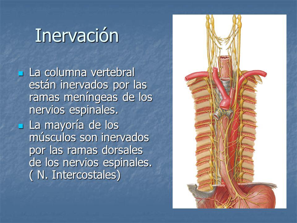 Inervación La columna vertebral están inervados por las ramas meníngeas de los nervios espinales.