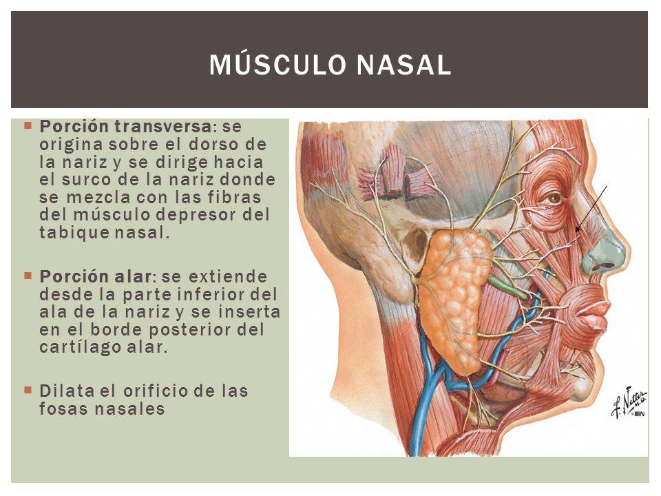 Músculo Nasal