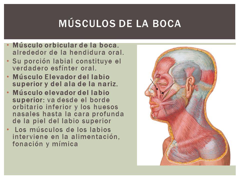 Músculos de la boca Músculo orbicular de la boca. alrededor de la hendidura oral. Su porción labial constituye el verdadero esfínter oral.