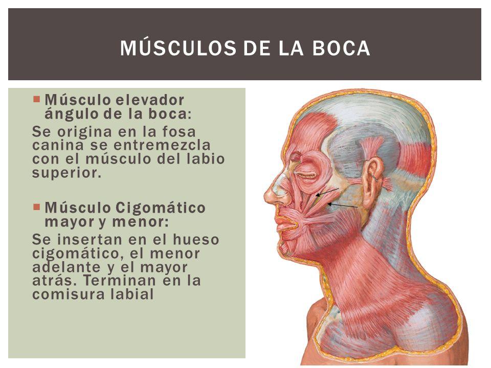 Músculos de la boca Músculo elevador ángulo de la boca:
