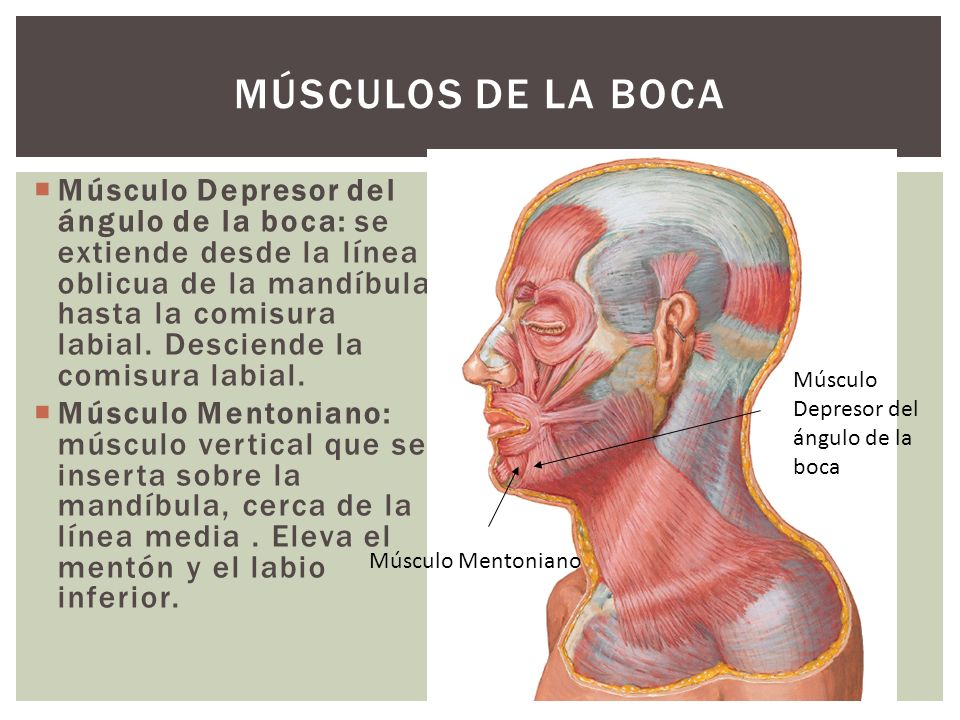Músculos de la boca
