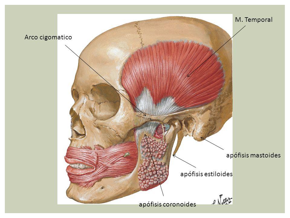 M. Temporal Arco cigomatico apófisis mastoides apófisis estiloides apófisis coronoides