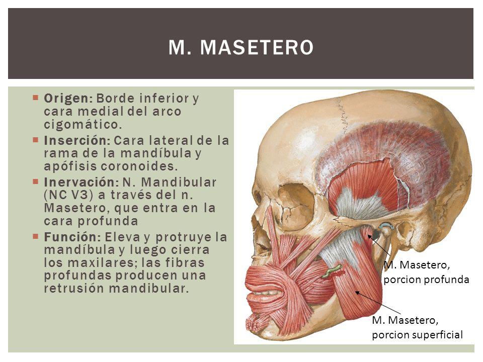 M. Masetero Origen: Borde inferior y cara medial del arco cigomático.