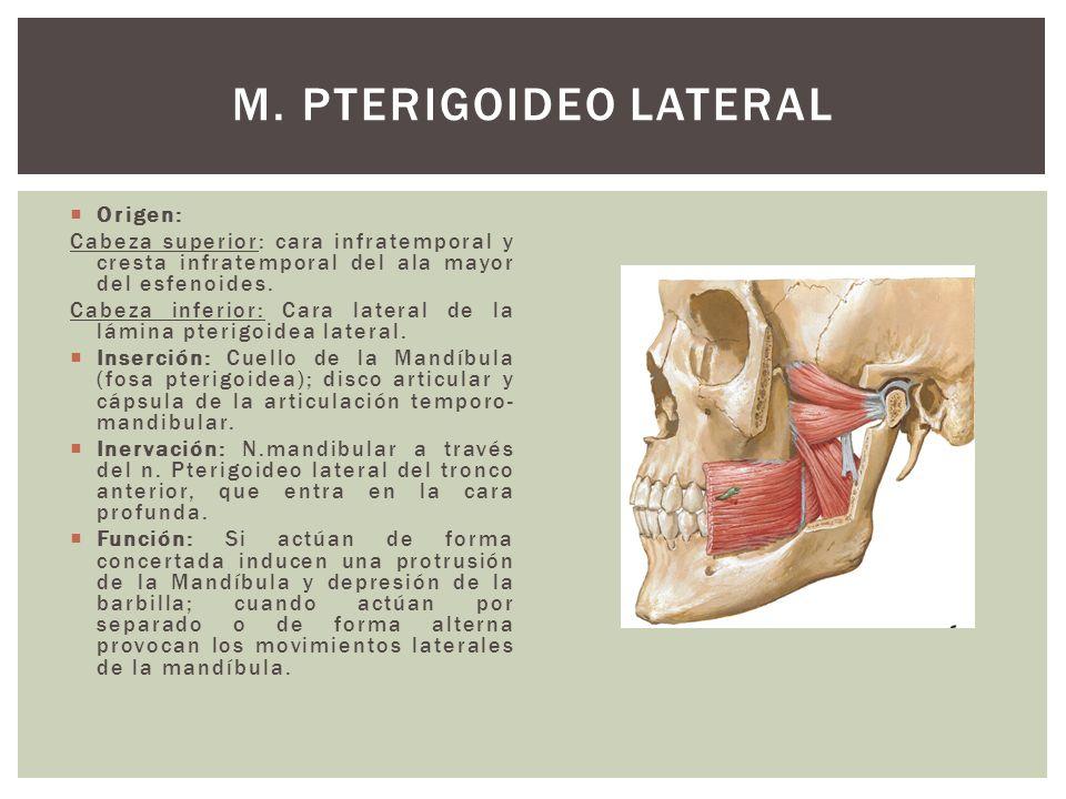 M. Pterigoideo Lateral Origen: