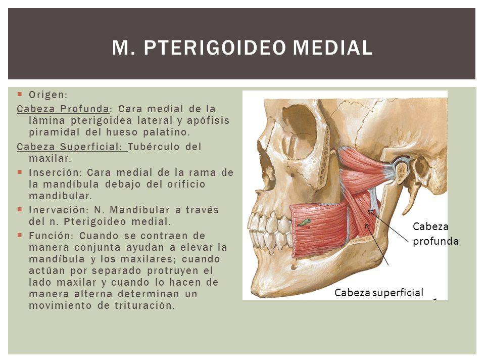 M. Pterigoideo Medial Cabeza profunda Cabeza superficial Origen: