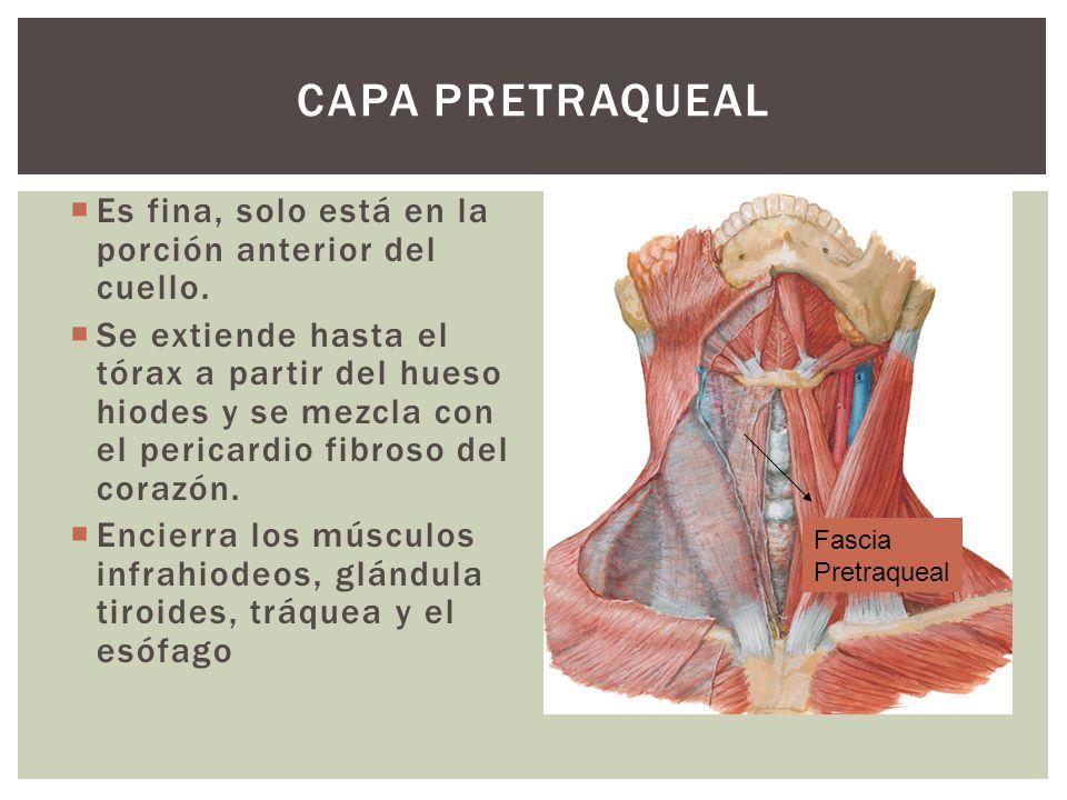 Capa Pretraqueal Es fina, solo está en la porción anterior del cuello.