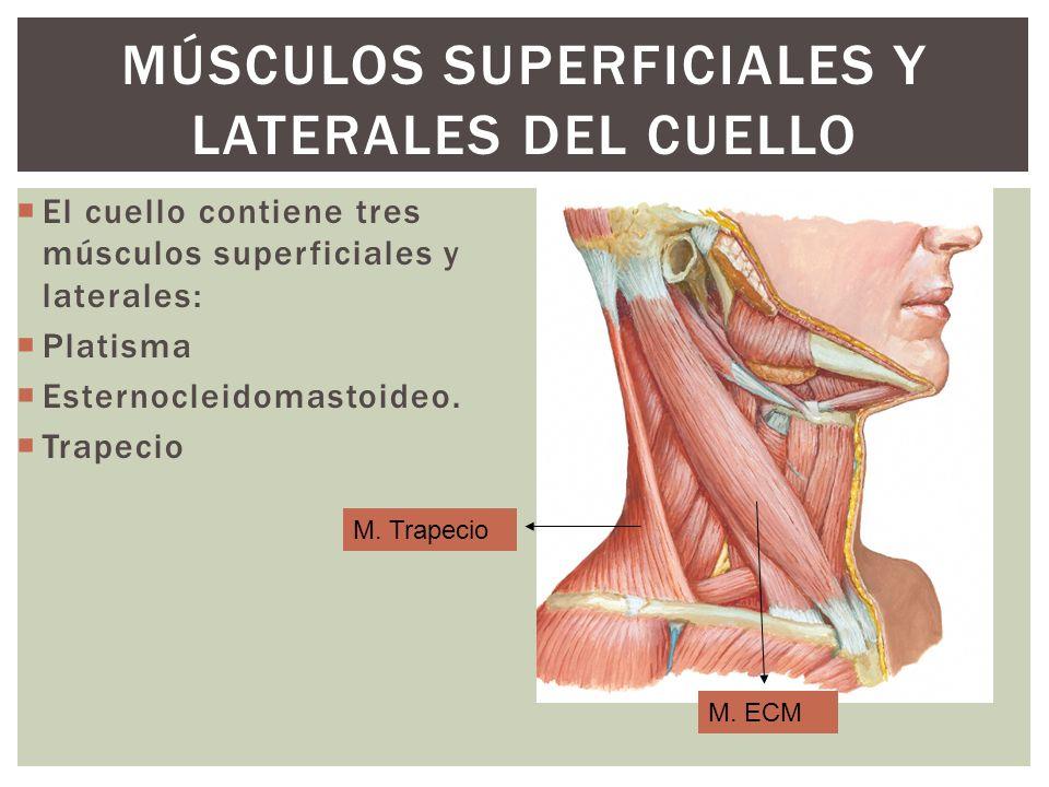 Músculos Superficiales y Laterales del Cuello