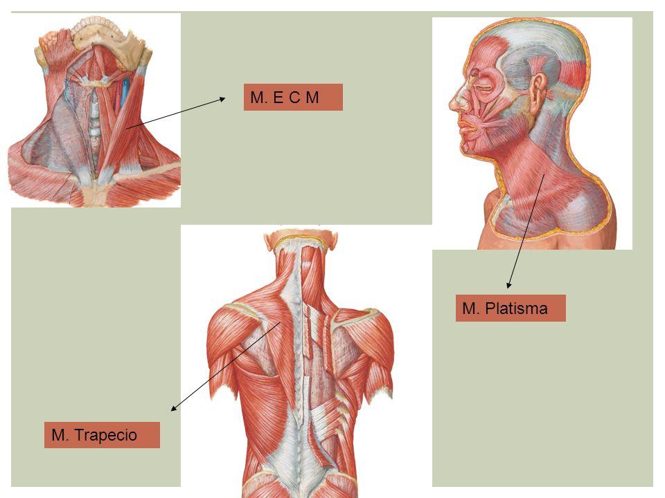 M. E C M M. Platisma M. Trapecio
