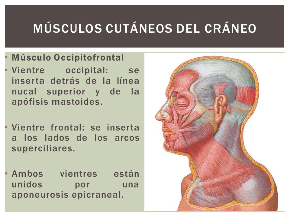 Músculos cutáneos del cráneo