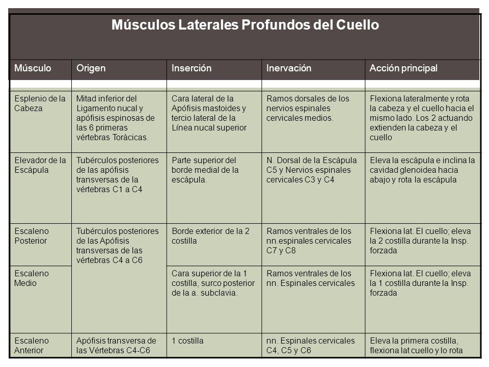 Músculos Laterales Profundos del Cuello