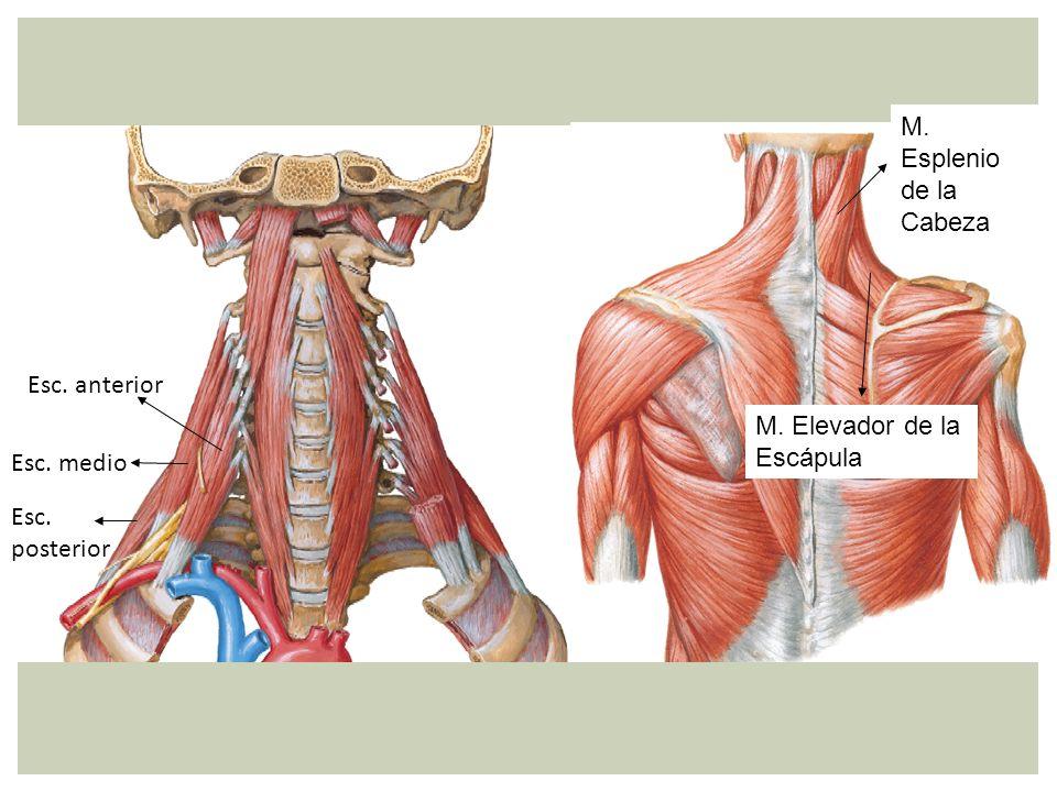 M. Esplenio de la Cabeza Esc. anterior M. Elevador de la Escápula Esc. medio Esc. posterior