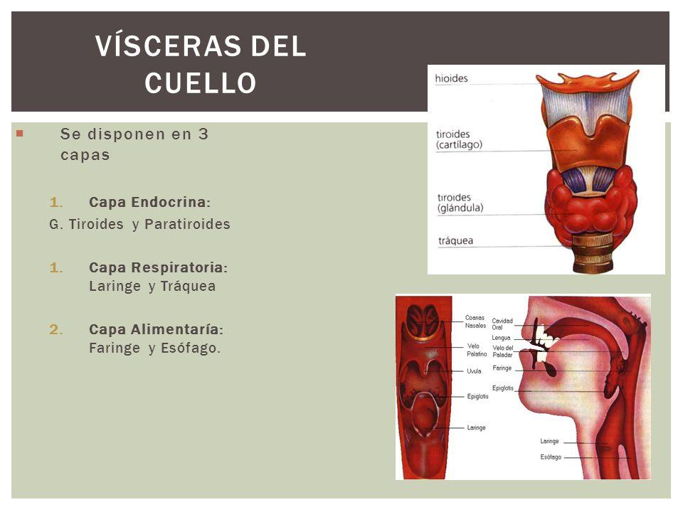 Vísceras del Cuello Se disponen en 3 capas Capa Endocrina: