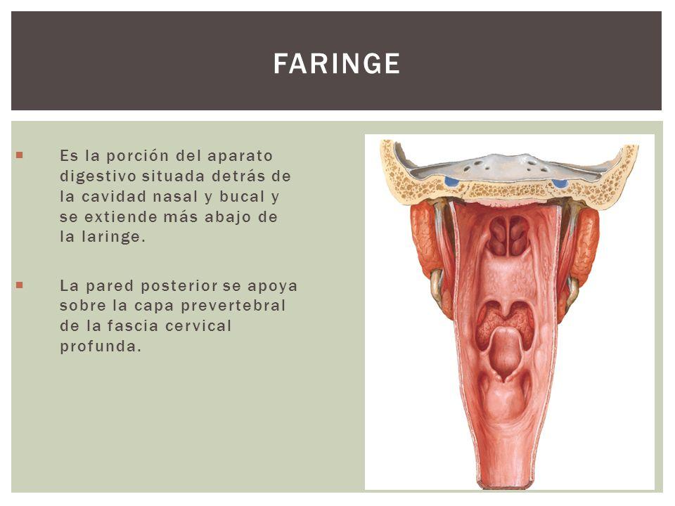 Faringe Es la porción del aparato digestivo situada detrás de la cavidad nasal y bucal y se extiende más abajo de la laringe.