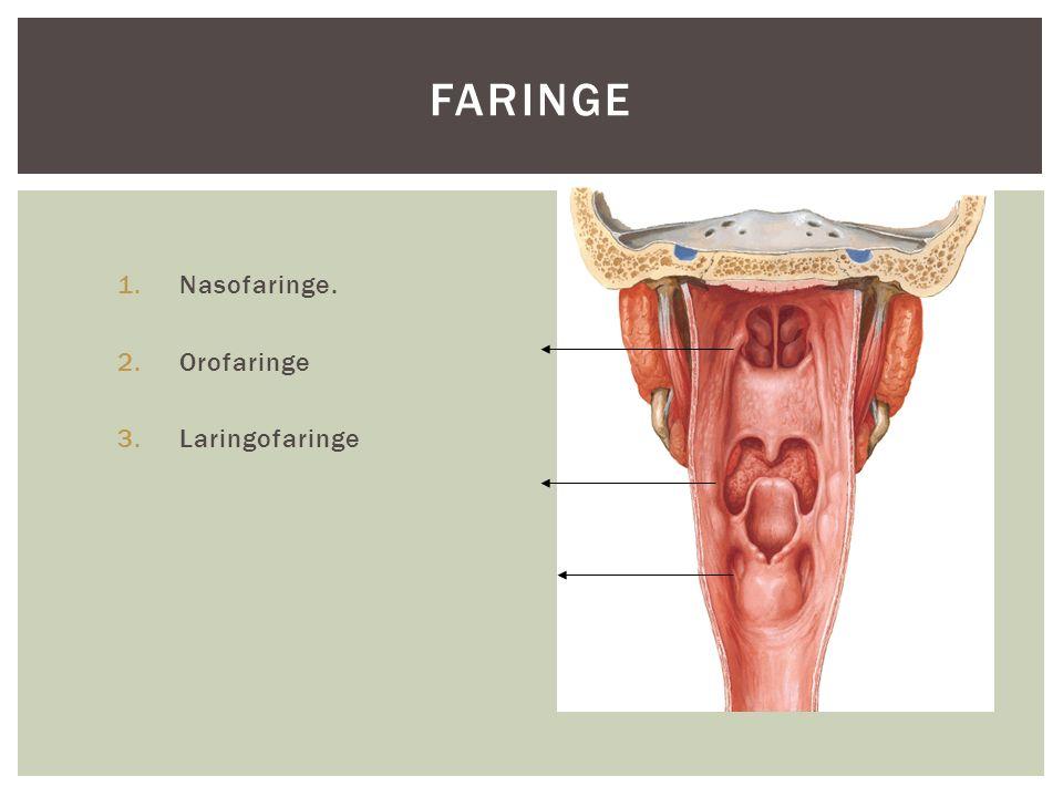 Faringe Nasofaringe. Orofaringe Laringofaringe