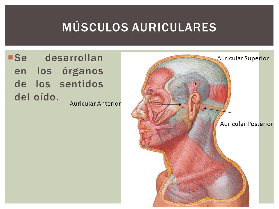 Músculos Auriculares Se desarrollan en los órganos de los sentidos del oído. Auricular Superior. Auricular Anterior.