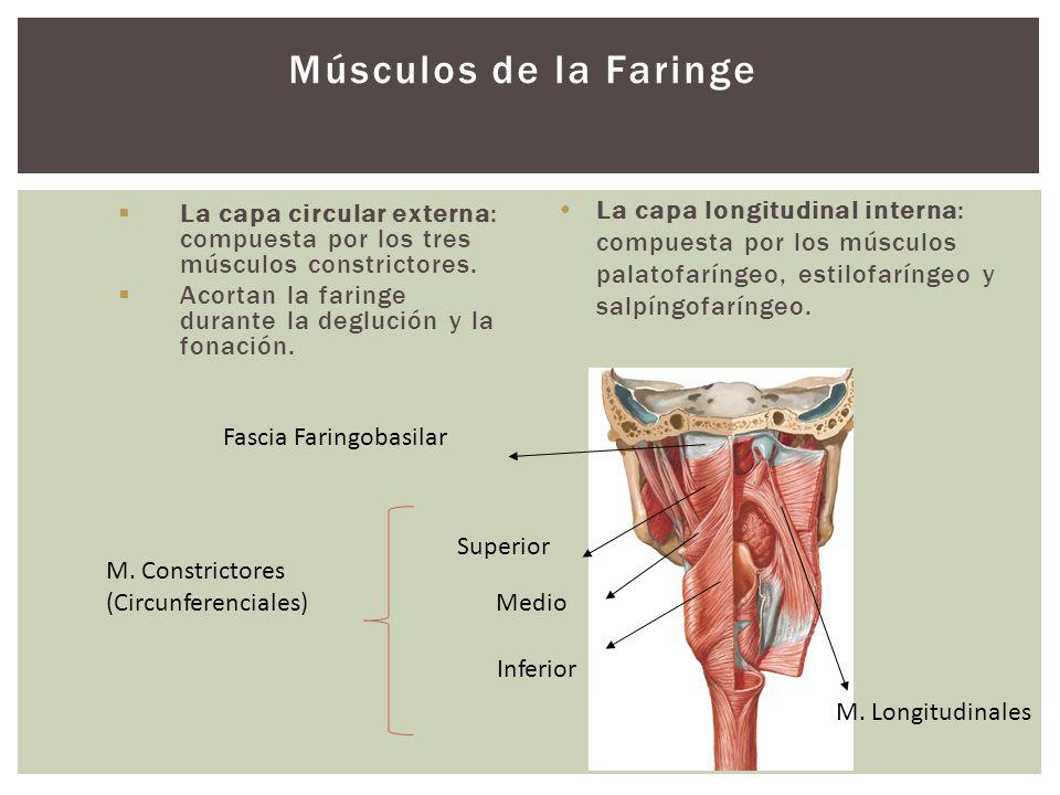 Músculos de la Faringe La capa longitudinal interna: compuesta por los músculos palatofaríngeo, estilofaríngeo y salpíngofaríngeo.
