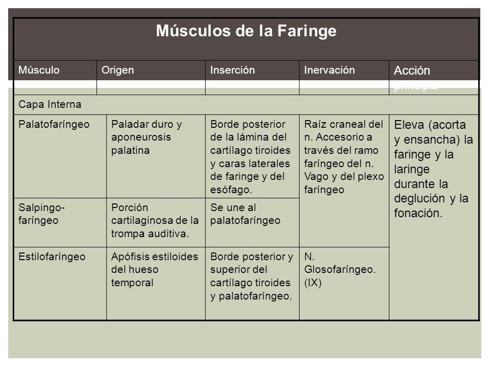 Músculos de la Faringe Acción principal