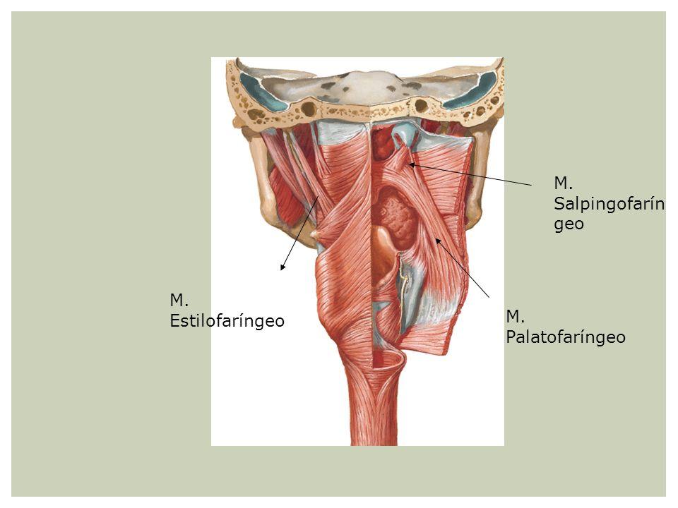 M. Salpingofaríngeo M. Estilofaríngeo M. Palatofaríngeo