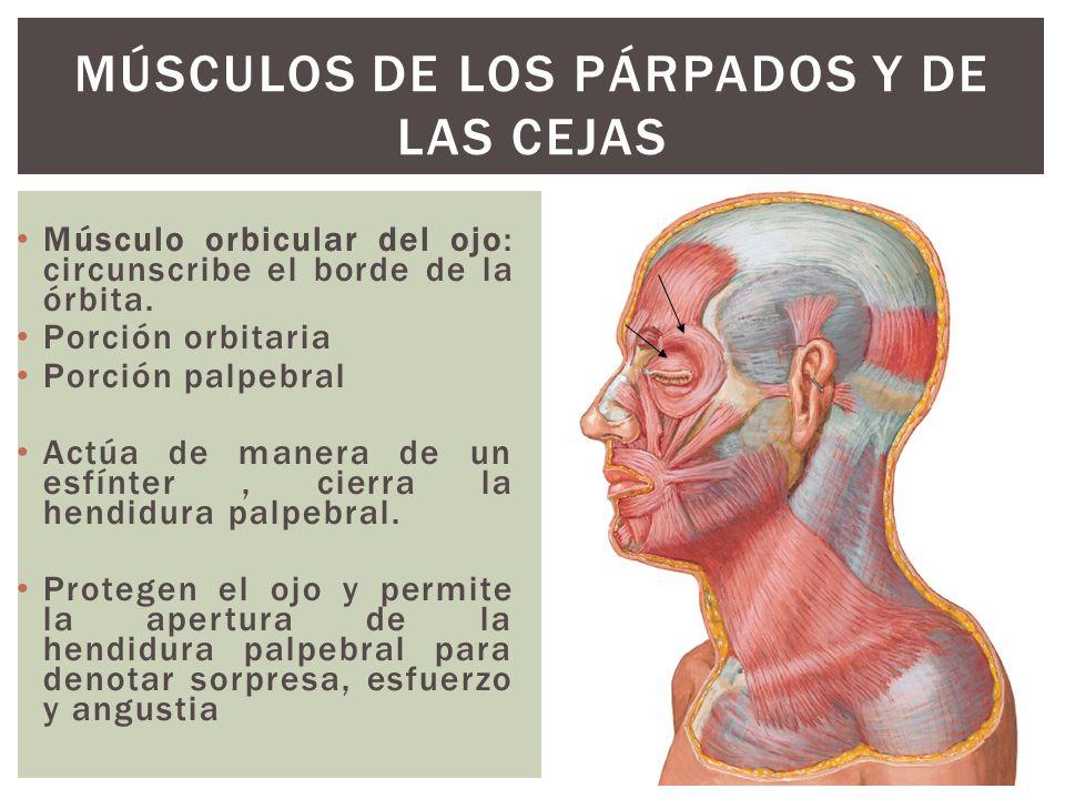 Músculos de los párpados y de las cejas