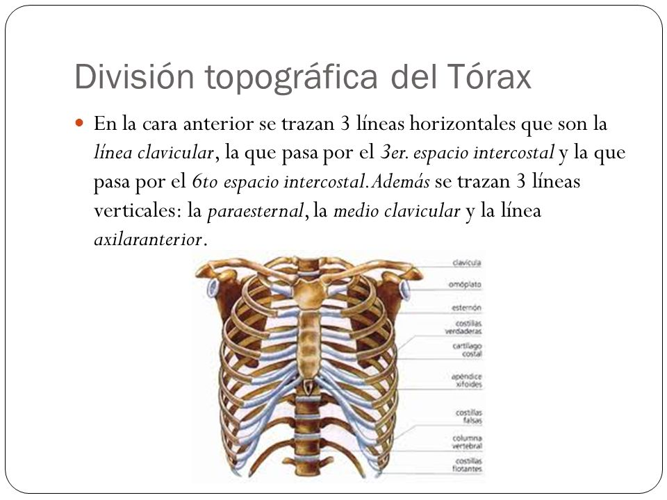 División topográfica del Tórax
