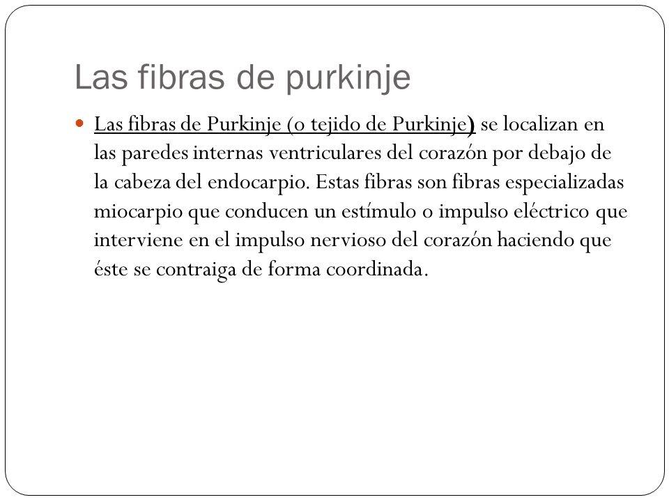 Las fibras de purkinje