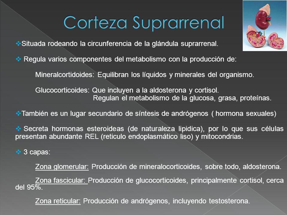 Corteza SuprarrenalSituada rodeando la circunferencia de la glándula suprarrenal. Regula varios componentes del metabolismo con la producción de:
