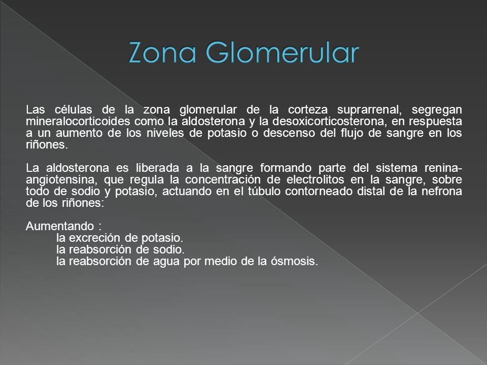 Zona Glomerular