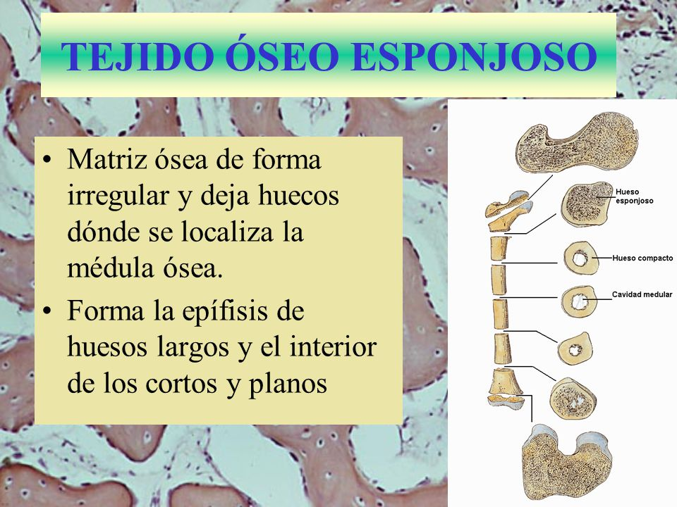 TEJIDO ÓSEO ESPONJOSO Matriz ósea de forma irregular y deja huecos dónde se localiza la médula ósea.