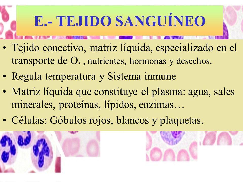 E.- TEJIDO SANGUÍNEO Tejido conectivo, matriz líquida, especializado en el transporte de O2 , nutrientes, hormonas y desechos.