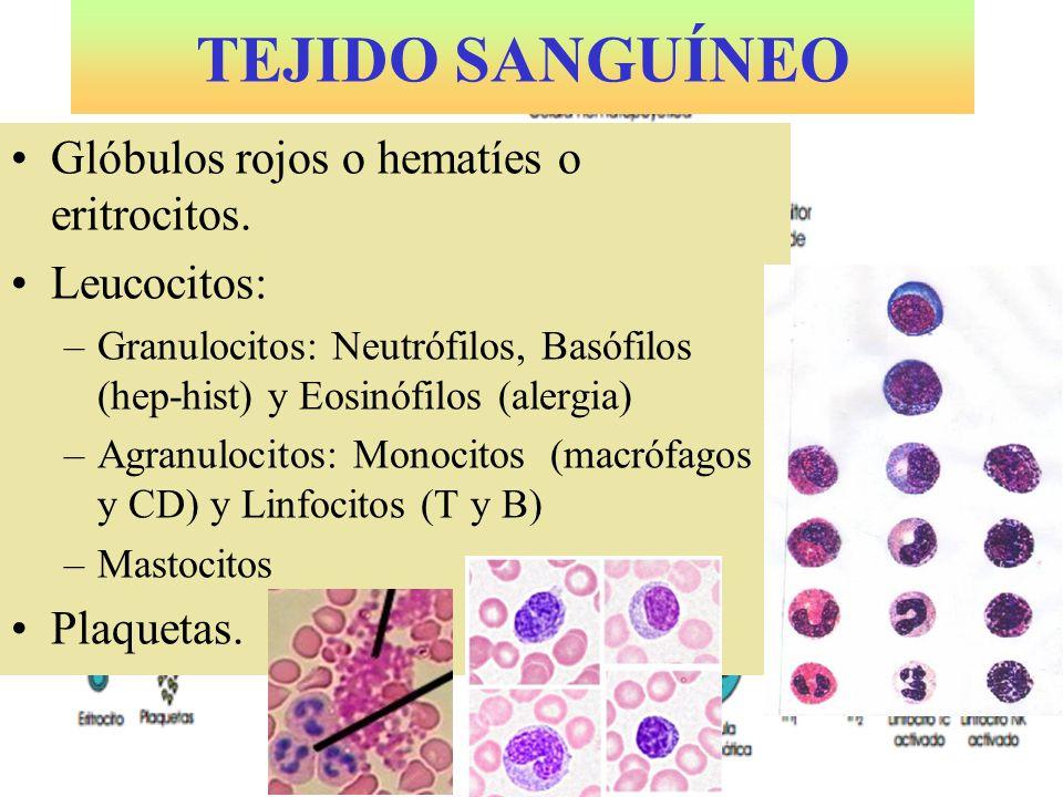 TEJIDO SANGUÍNEO Glóbulos rojos o hematíes o eritrocitos. Leucocitos: