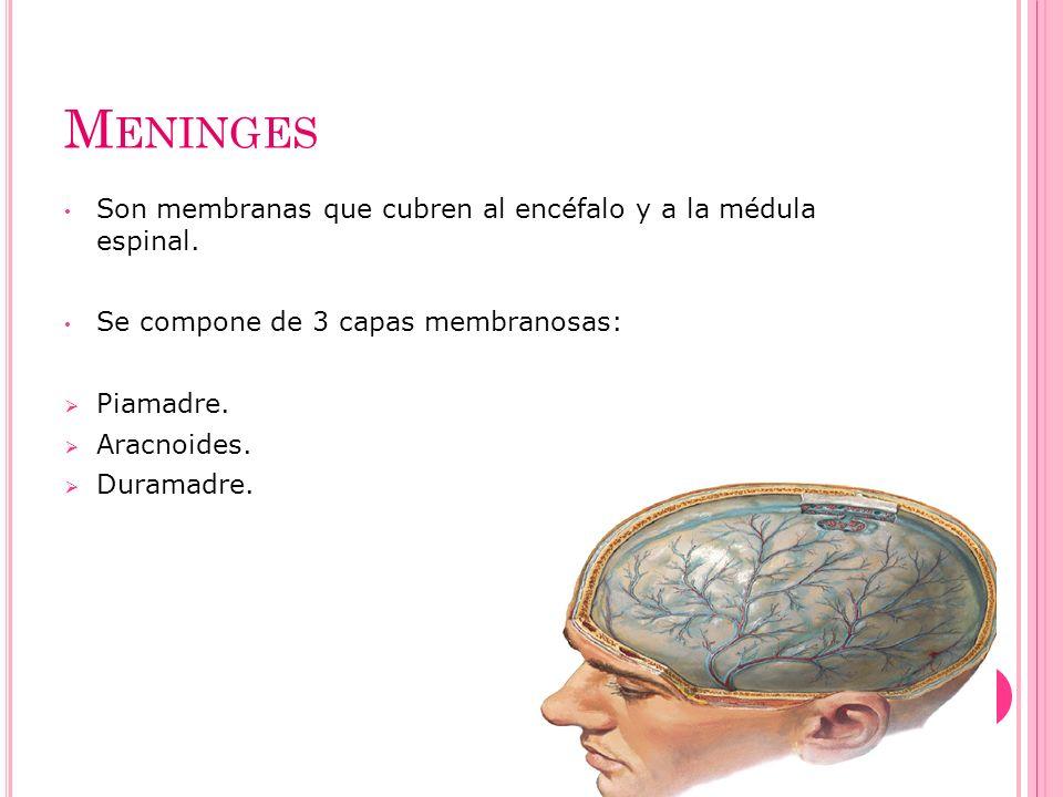 Meninges Son membranas que cubren al encéfalo y a la médula espinal.