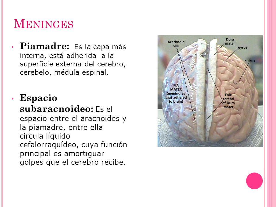 Meninges Piamadre: Es la capa más interna, está adherida a la superficie externa del cerebro, cerebelo, médula espinal.