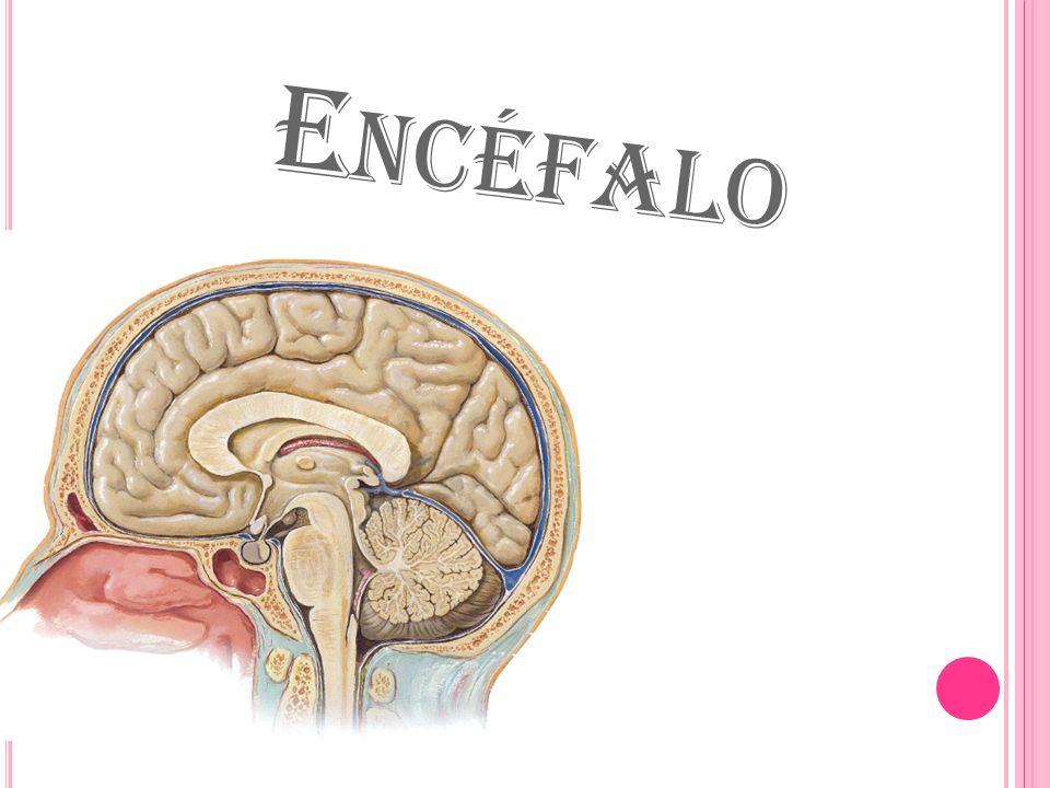 Encéfalo