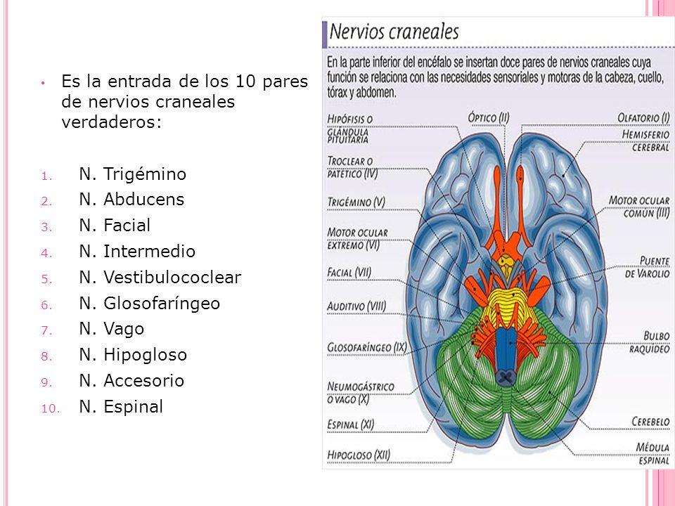 Es la entrada de los 10 pares de nervios craneales verdaderos: