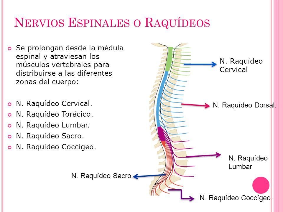 Nervios Espinales o Raquídeos