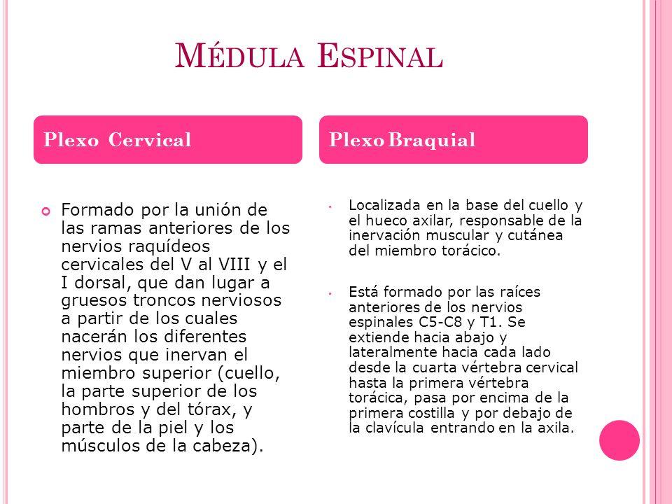 Médula Espinal Plexo Cervical Plexo Braquial