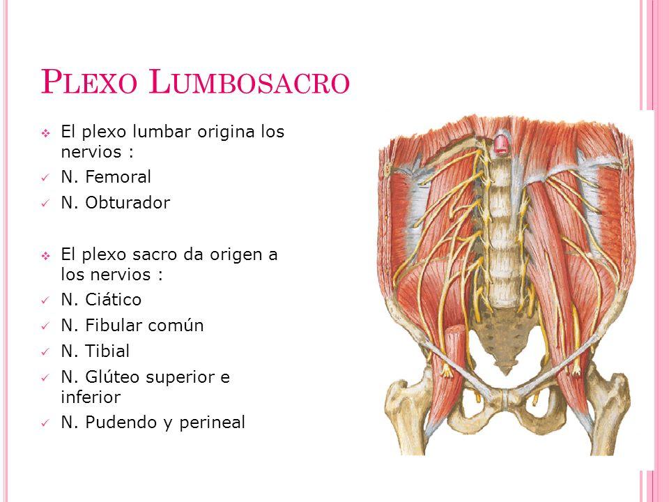 Plexo Lumbosacro El plexo lumbar origina los nervios : N. Femoral