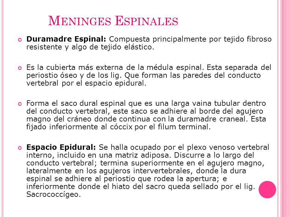 Meninges Espinales Duramadre Espinal: Compuesta principalmente por tejido fibroso resistente y algo de tejido elástico.