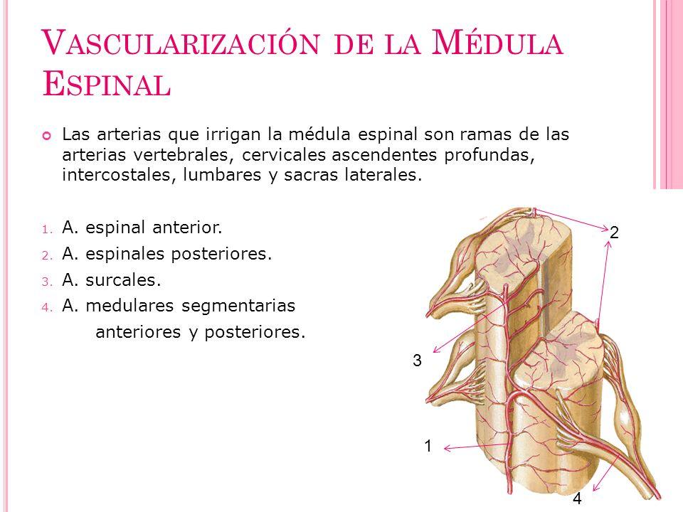 Vascularización de la Médula Espinal