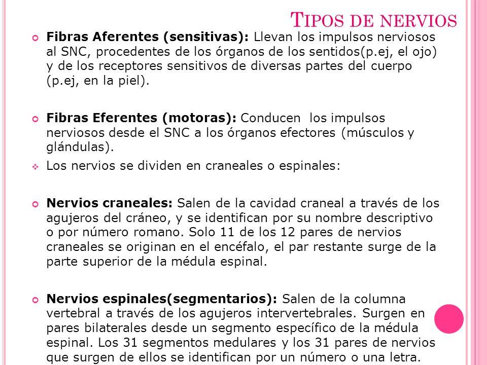 Tipos de nervios