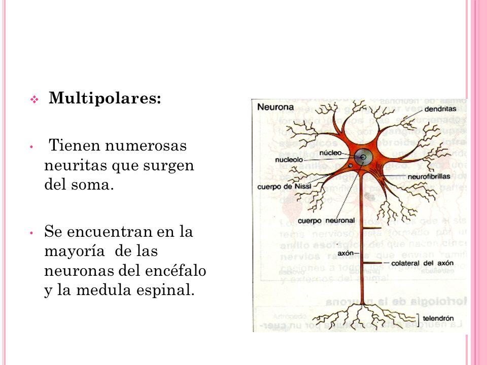 Multipolares:Tienen numerosas neuritas que surgen del soma.