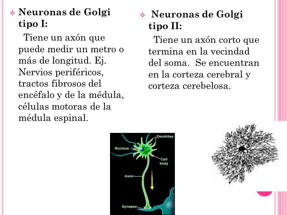 Neuronas de Golgi tipo I:
