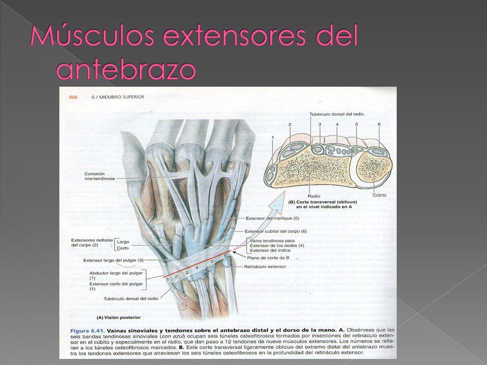 Músculos extensores del antebrazo