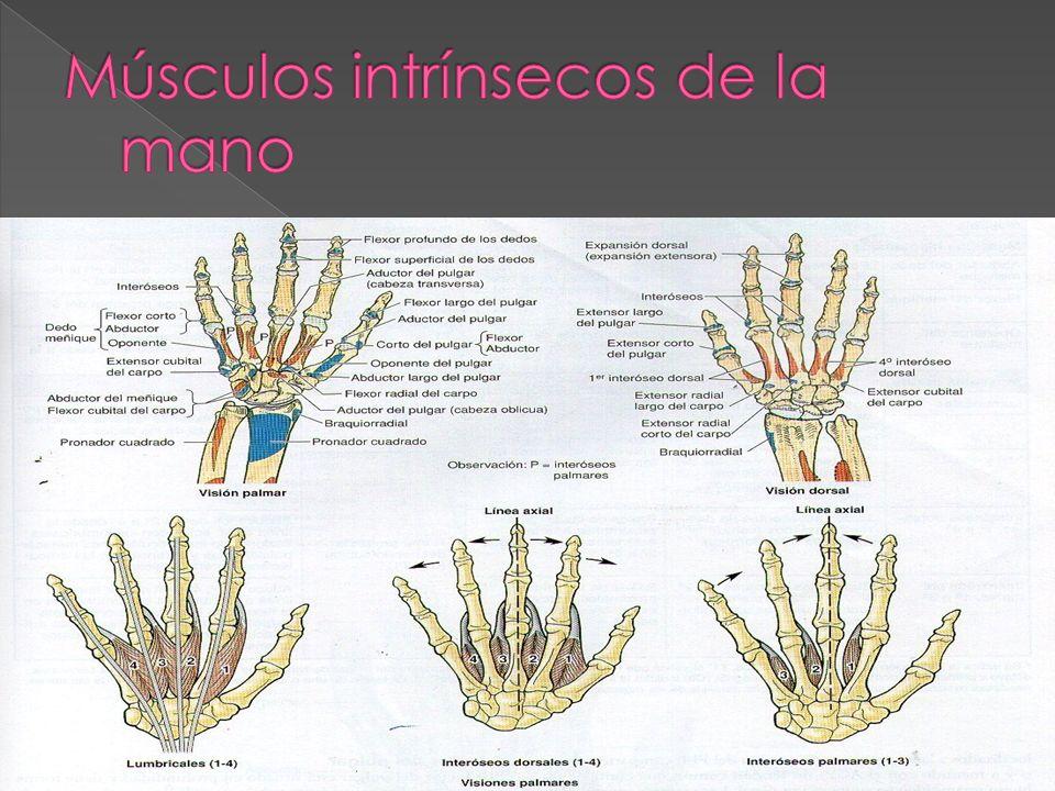 Músculos intrínsecos de la mano