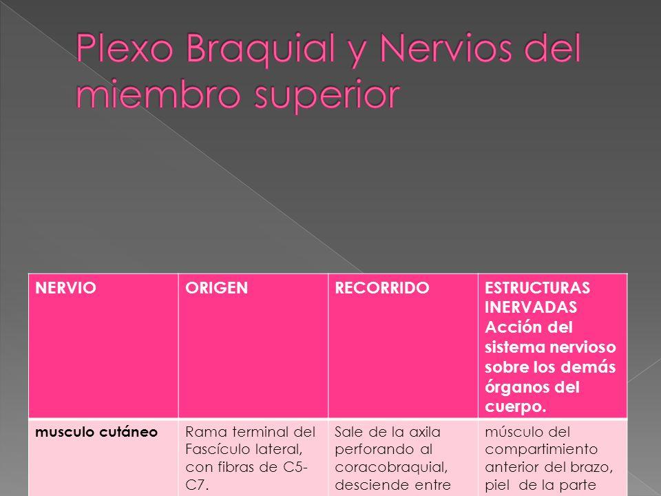 Plexo Braquial y Nervios del miembro superior