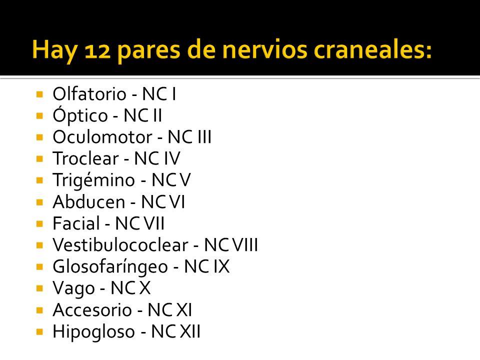 Hay 12 pares de nervios craneales: