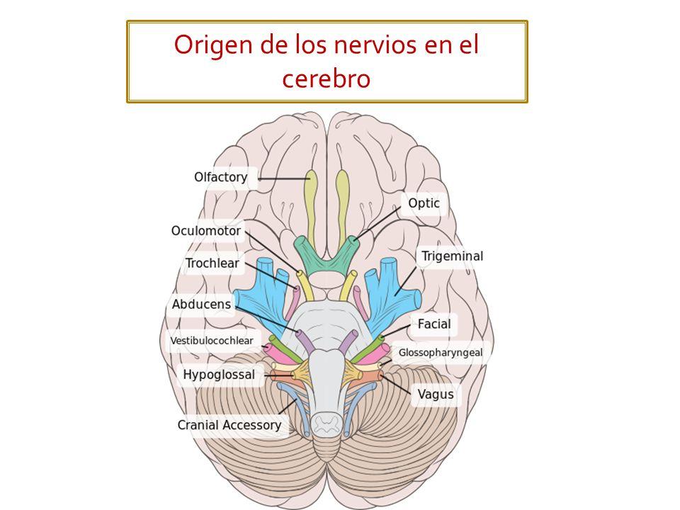 Origen de los nervios en el cerebro