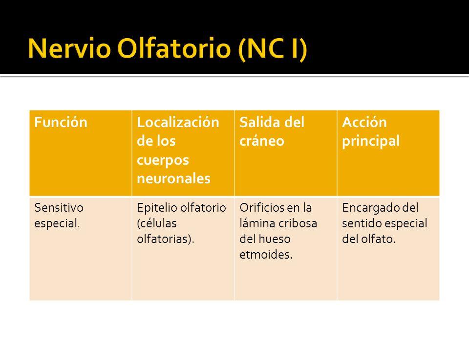 Nervio Olfatorio (NC I)