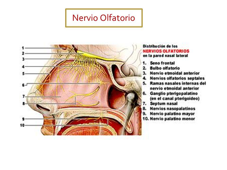 Nervio Olfatorio