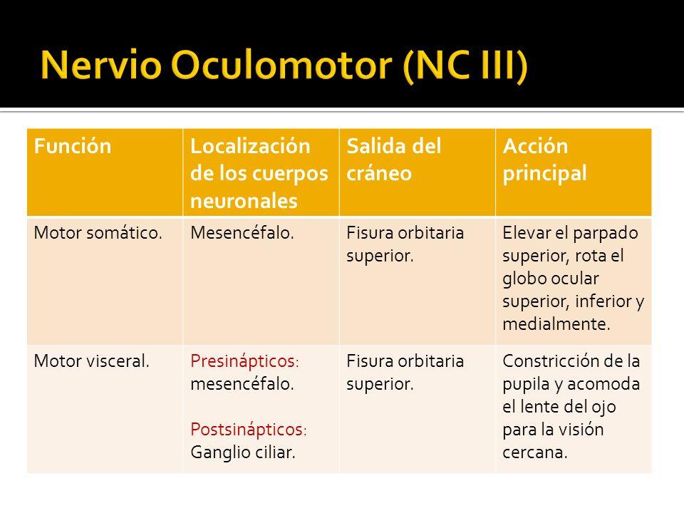 Nervio Oculomotor (NC III)